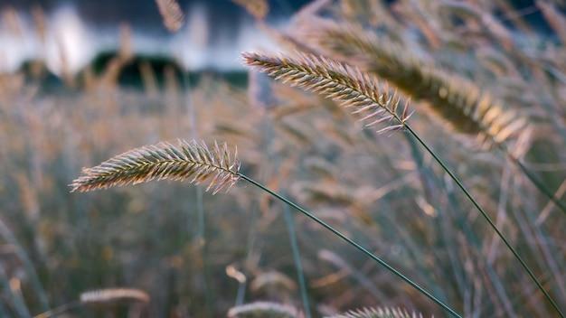 Шипы травы против закатного неба. колоск дикой травы.