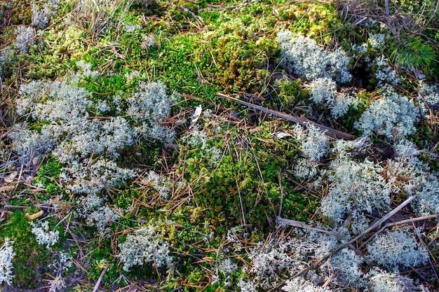 雪の下の草雪の下の苔冬の森最後の雪