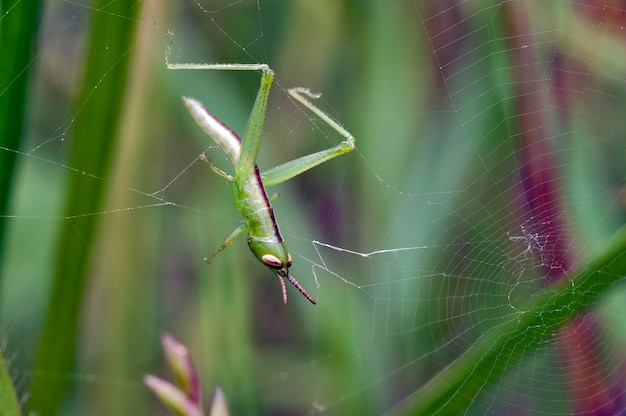 Grasshopper in the cobweb being wrapped by threads