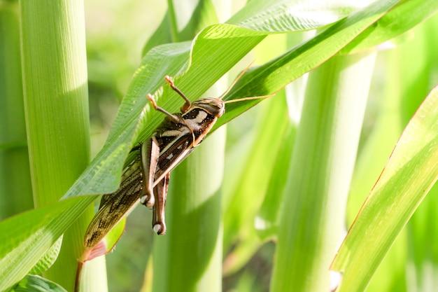 Grasshopper eating corn leaves.