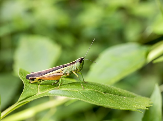 Grasshopper on green leaf in the forest