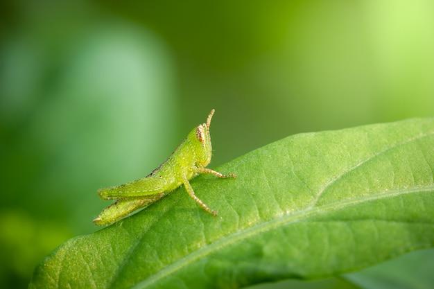 Grasshopper on green leaf in organic farm.
