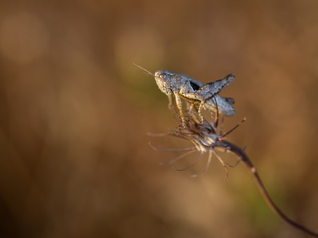 Кузнечик в естественной среде обитания. макро фотография.