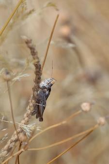 자연 환경에서 메뚜기입니다.