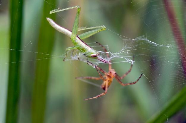 Кузнечик в паутине, обмотанный нитями