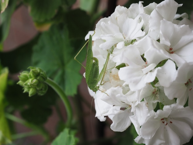 제라늄 꽃에 메뚜기 곤충 동물