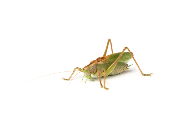 Grasshopper isolated on white surface
