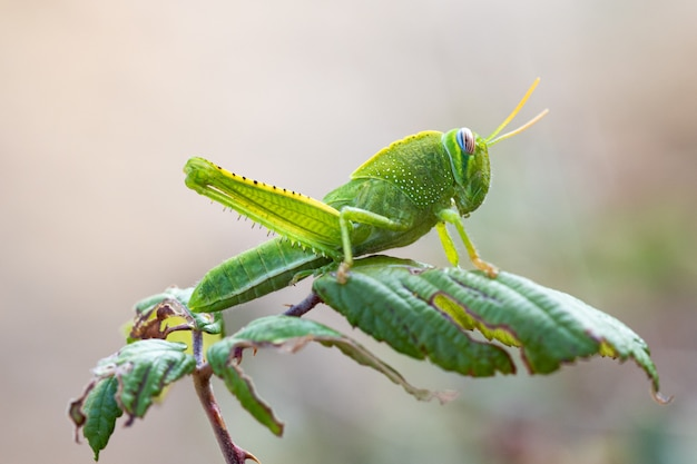 Grasshopper in its natural environment.