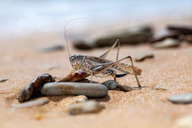 Grasshopper, large locust on the seashore