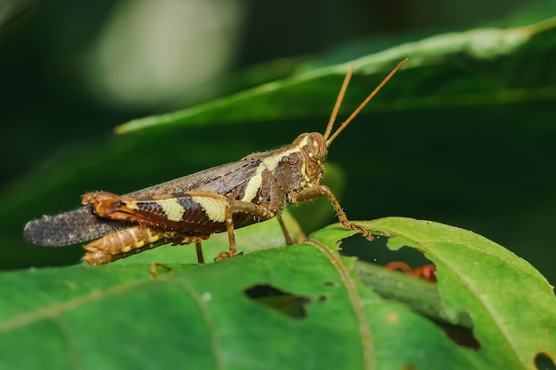 Grasshopper on the leaves in nature