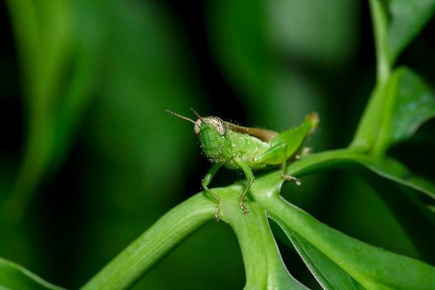 Grasshopper on the leaves