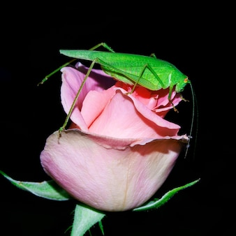 Кузнечик, зеленая акация, сидит на бутоне розовой розы.