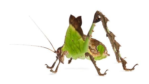 Grasshopper, malaysian leaf katydid, ancylecha fenestrata,
