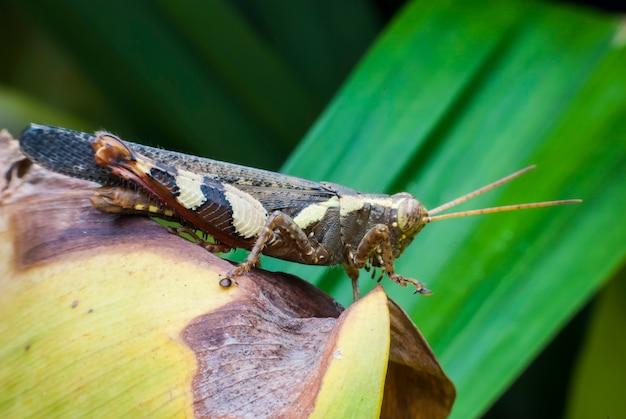 Grasshopper in nature