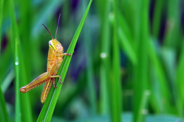 Кузнечик на зеленой траве