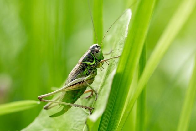 Кузнечик на листе травы заделывают. зеленый кузнечик. макро фотография кузнечика.