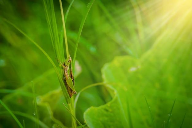 Кузнечик на листе травы крупным планом в поле