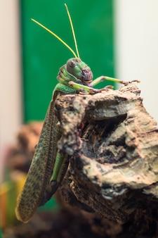 Grasshopper resting on rock