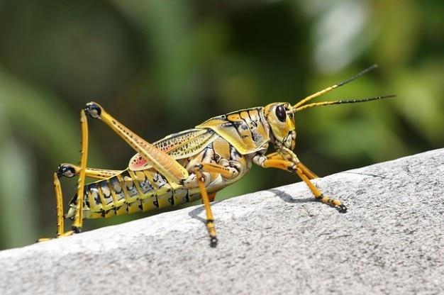 Кузнечик romalea caelifera microptera насекомых