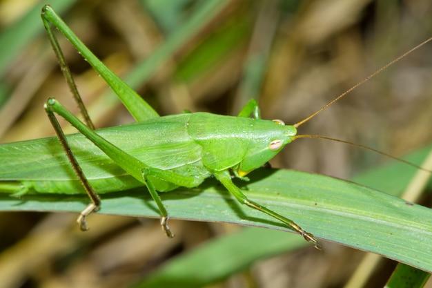 Grasshopper on a stalk of grass