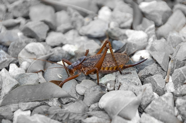 Grasshopper on the stones. Premium Photo