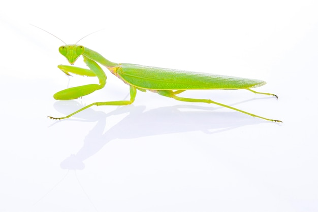 Grasshopper on white