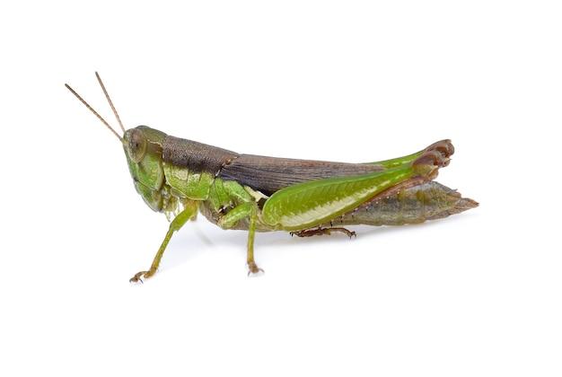Grasshopper on white