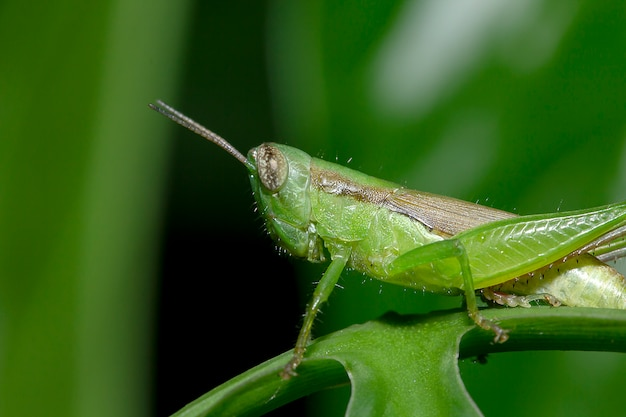 Grasshoppers on green leaves