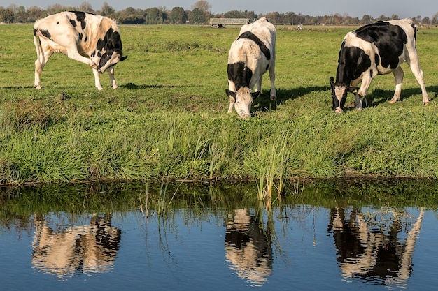 낮에 풀을 먹는 소와 물 근처 잔디 필드