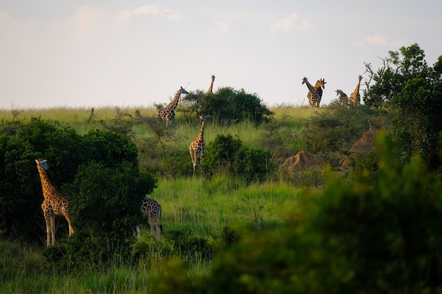 Grassy field with trees and giraffes walking around with light blue sky in the background
