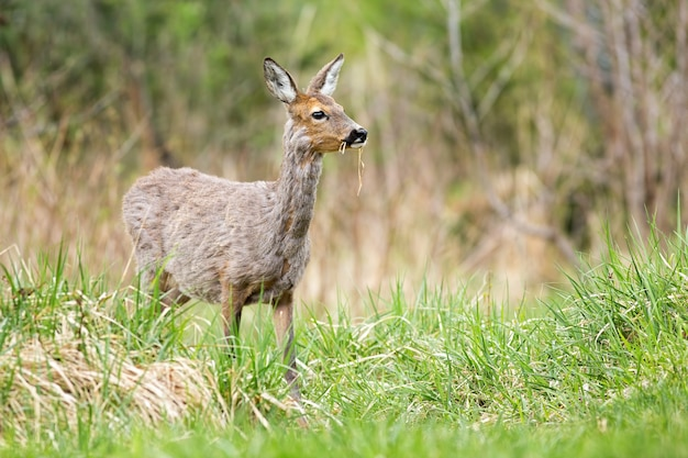 Gravid roe deer female grazing grass on green meadow in spring nature.