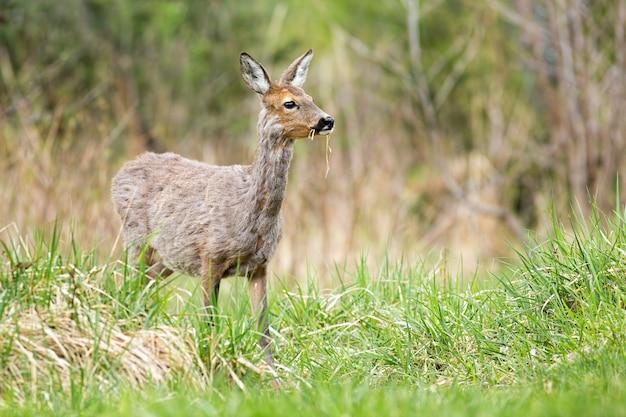 Беременная косуля женщина пасется трава на зеленом лугу в весенней природе.