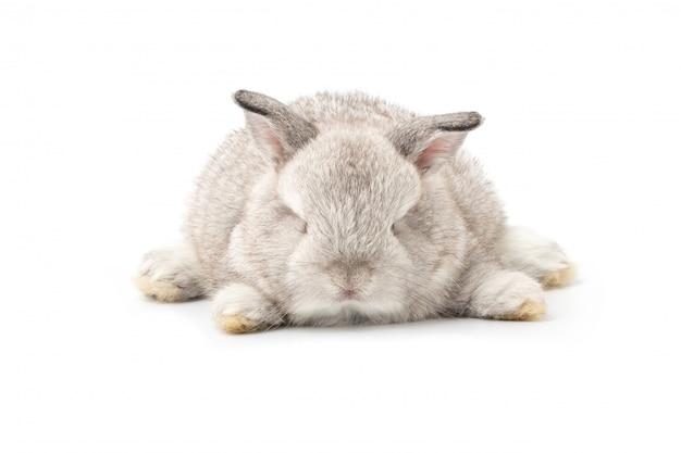 Gray adorable baby rabbit on white