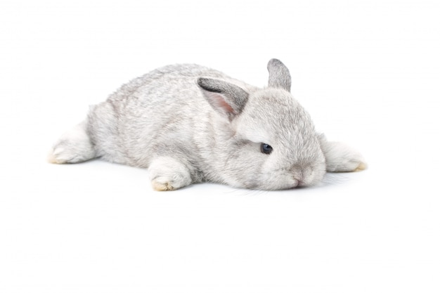 Gray adorable baby rabbit