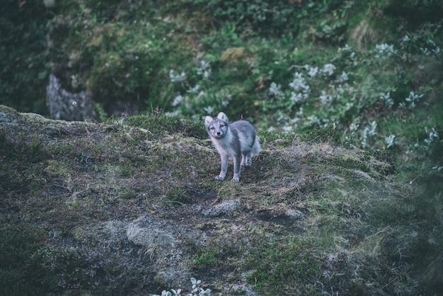 山の頂上に灰色と白のキツネ