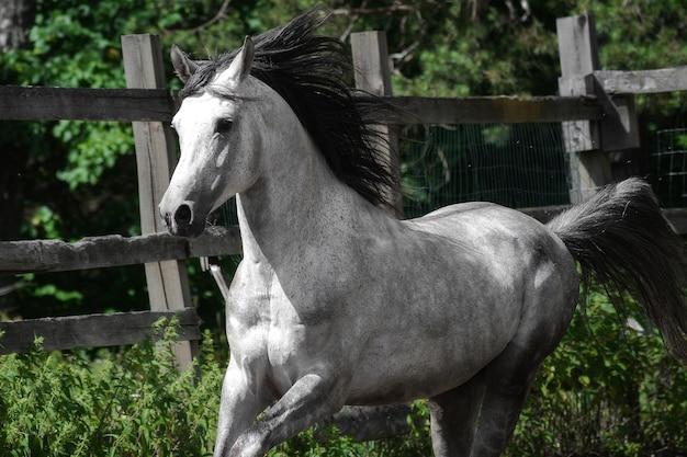 灰色のアラビアの種馬が森にクローズアップ。