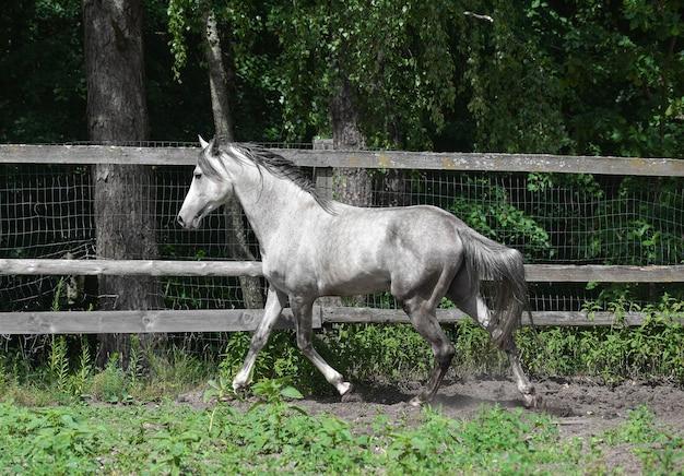 楽しんでいる灰色のアラビアの種馬。