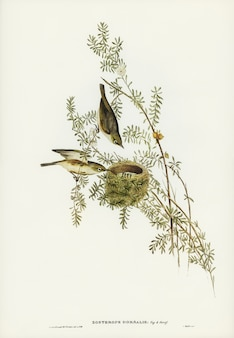 Gray-backed Zosterops (Zosterops dorsalis) illustrated by Elizabeth Gould