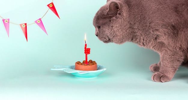 Gray british breed cat blows out candle on cake on light blue background. birthday cat party