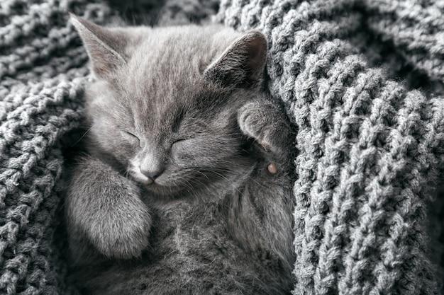 회색 영국 고양이는 회색 부드러운 니트 담요에 놓여 있습니다. 발을 가진 고양이 초상화는 침대에서 낮잠. 아늑한 집에서 편안한 애완 동물 수면. 복사 공간이있는 상위 뷰.