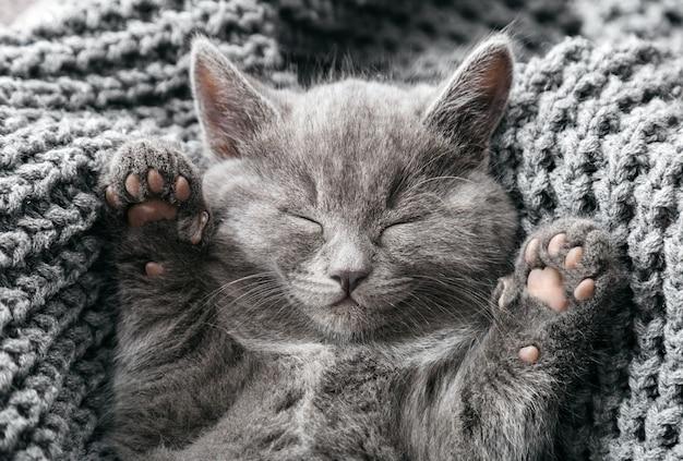 회색 영국 새끼 고양이는 회색 부드러운 니트 담요에 누워 있습니다. 발이 있는 고양이 초상화는 침대에서 낮잠을 자고 있습니다. 아늑한 집에서 잠자는 편안한 애완 동물
