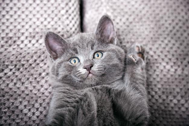 Серый британский котенок лежит на сером мягком диване. портрет кошки с отдыхом лап дремлет на кровати. комфортный питомец, спящий в уютном доме. вид сверху с копией пространства.