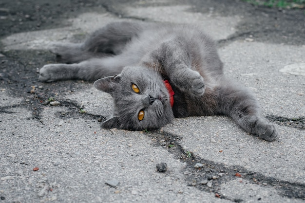 Gray british playful shorthair cat lazily resting in nature