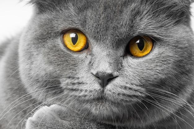 白い背景の上の美しい目を持つ灰色のブリティッシュショートヘアの猫