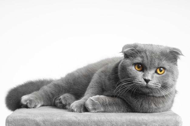 흰색 바탕에 아름다운 눈을 가진 회색 영국 쇼트헤어 고양이