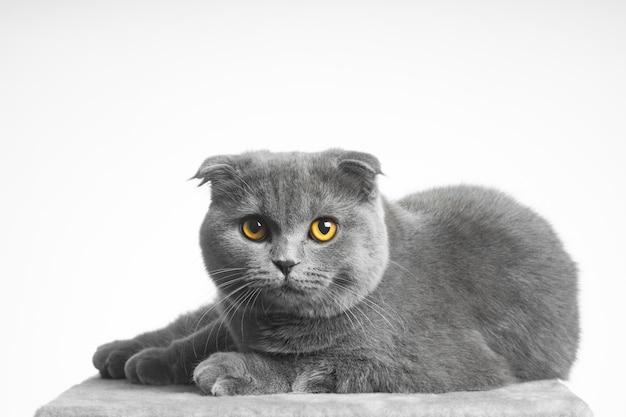 Серая британская короткошерстная кошка с красивыми глазами на белом фоне