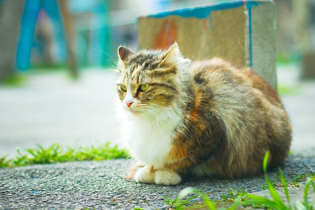 A gray brown white fluffy cute domestic cat in the outdoor or park