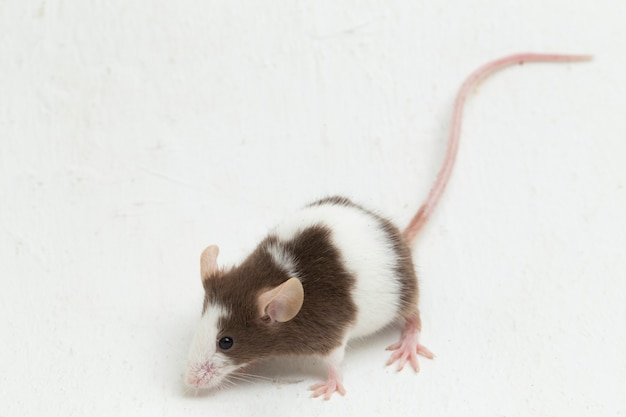 Gray brown white mouse isolated