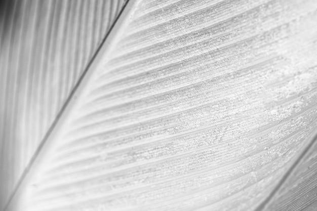 Gray calathea lutea leaf patterned background
