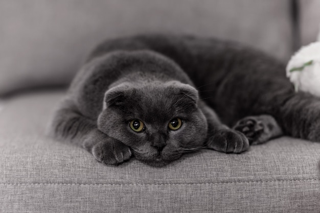 Gray cat breed briton. little briton cat. pets
